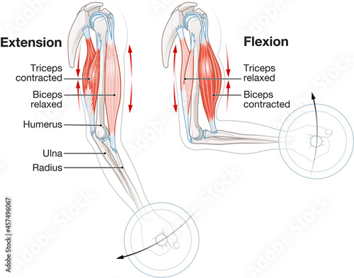 Foto Biceps and triceps muscles. Extension and Flexion