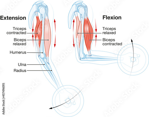 Canvas Biceps and triceps muscles. Extension and Flexion