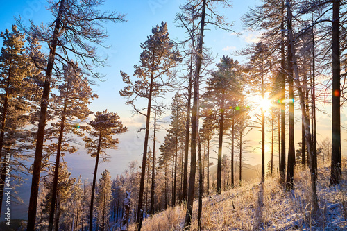 Canvas Print Pine trees on a hillside or mountain and blue sky with golden sun light in the b