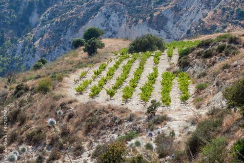 Vineyard on a hillside in Cyprus Fototapeta