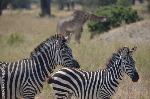 Fototapeta premium Two zebras with a giraffe in the beackground