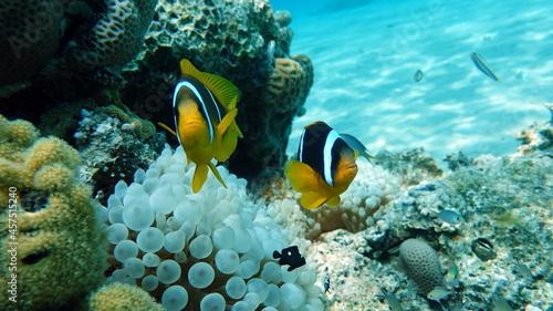 Fényképezés Clown fish amphiprion (Amphiprioninae). Red sea clown fish.