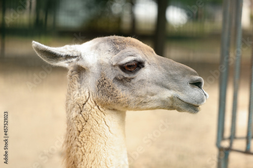 Fototapeta premium Cute guanaco in zoo, closeup. Wild animal