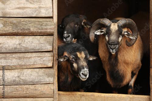 Fotografiet Beautiful ram and sheep in zoo enclosure