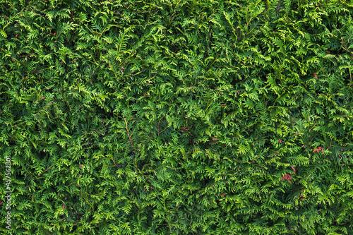 Obraz na plátně Green hedgerow wall close-up, Background photo texture