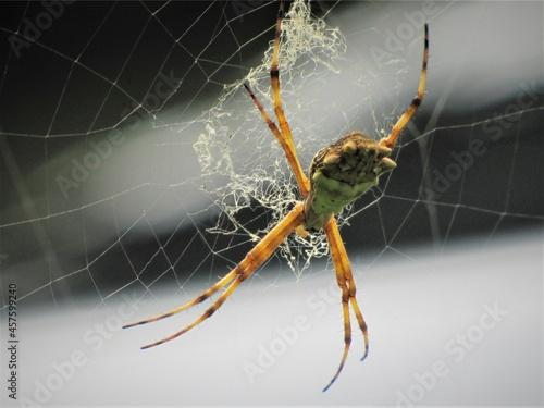 Fotografia, Obraz Araña jardinera en su tele de araña