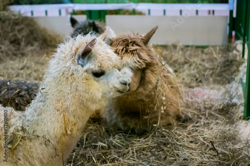 Fototapeta premium Portrait of alpacas looking around at agricultural animal exhibition, trade show - close up. Farming, agriculture industry, livestock and animal husbandry concept