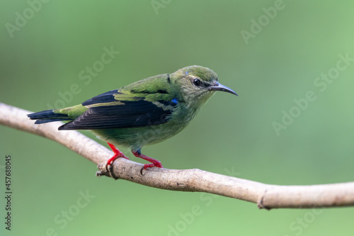 Fotografie, Obraz Plain-colored tanager - Tangara inornata bird in the family Thraupidae, found in Colombia, Costa Rica and Panama, natural habitats are subtropical or tropical moist lowland forests and former forest