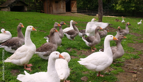 Fotografie, Obraz Domestic geese on the farm