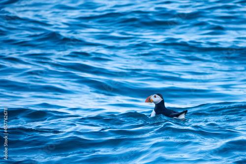 Fotografia Puffin in the waves, Ramsey Island, Pembrokeshire