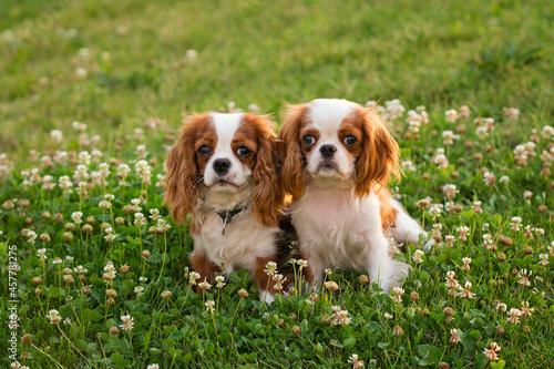 Fotografija Two Cute cavalier king charles spaniels walking in park on lawn