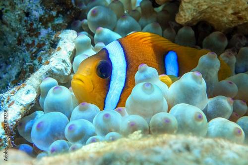 Billede på lærred Red Sea anemonefish - Red Sea clownfish  (Amphiprion bicinctus) in bubble anemone