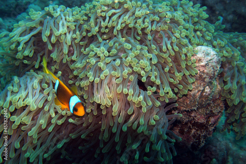 Fotografering sea anemone with clownfish