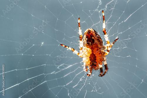Obraz na plátne macro shot of a European garden spider (cross spider, Araneus diadematus)