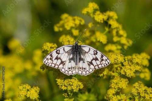 Fotografie, Obraz white butterfly on alchemilla mollis plant, Melanargia russiae