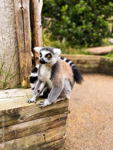 Fototapeta premium Lemur sitting