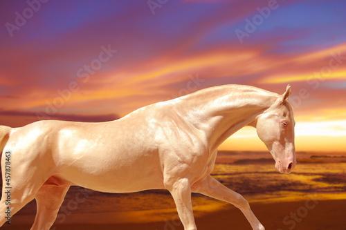 horse on sunset background, cream horse galloping at sunset Fototapet