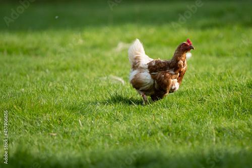 Obraz na plátně Old chicken hen on a farm enjoying her days in the sun
