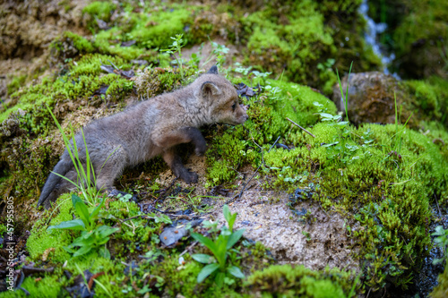 Fototapeta premium Red fox, vulpes vulpes, small young cub in forest. Cute little wild predators in natural environment