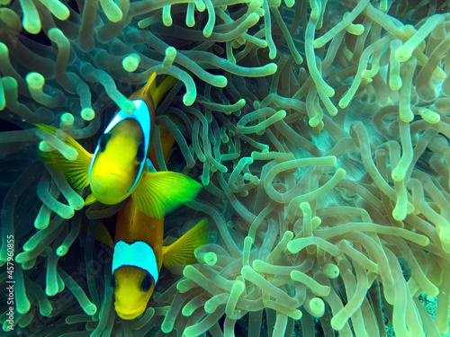 Billede på lærred clownfish and anemone