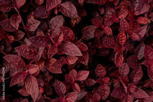 Fotografie, Obraz closeup nature view of purple leaves background, dark nature concept