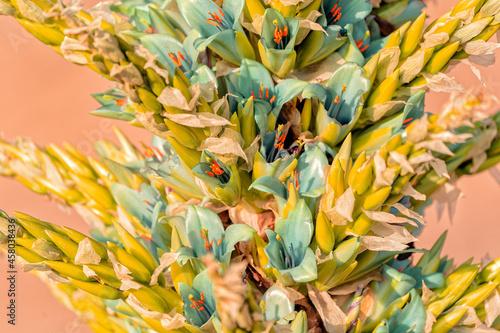 wild plant Puya chilensis, Chagual, close up, blossom Fototapet
