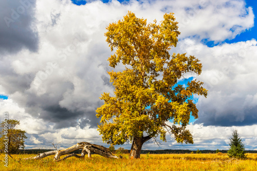 Obraz na plátně huge poplar with yellowed foliage in an autumn day