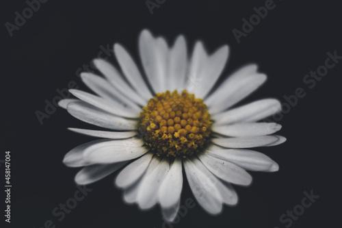 Fényképezés Closeup shot of a white daisy flower blooming in a garden against a dark backgro