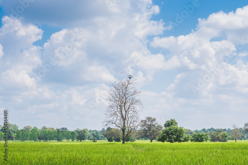 Fotografie, Obraz Paddy field or rice field and stand alone tree with white clouds and clear blue