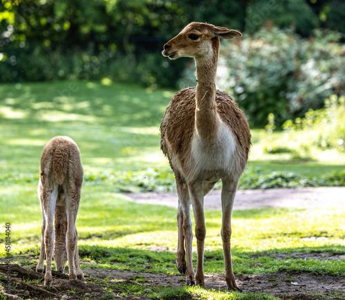 Fototapeta premium Vicunas, Vicugna Vicugna, relatives of the llama in a German park