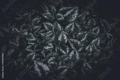 Foto Closeup shot of archangel plants with beautiful leaves pattern against a dark ba