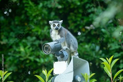 Fototapeta premium Maki catta sur une caméra de surveillance