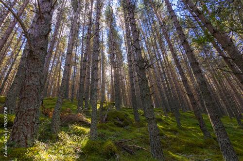Balmoral forest in Ballater, Scotland Fototapeta