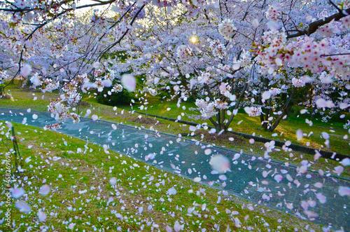 Obraz na plátne Sakura blizzard where cherry blossoms in full bloom fall
