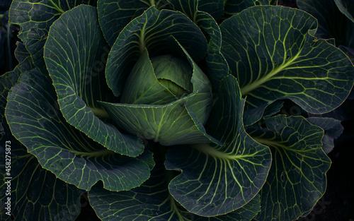Foto Juicy ripe cabbage grows in farm fields