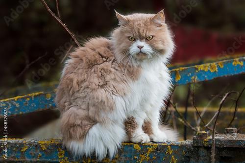Fototapeta Persian Cat Sitting On A Harrow