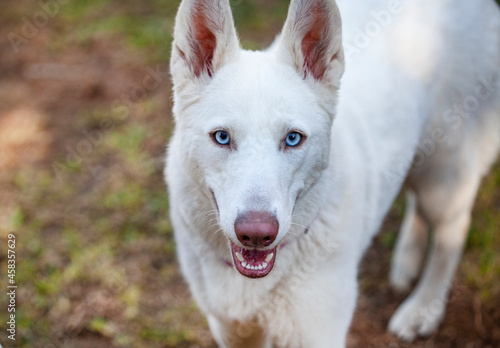 Fotografie, Obraz White Swiss Shepard With Light Blue Eyes
