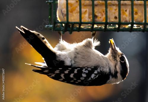Vászonkép Downy Woodpecker Eats From A Suet Feeder