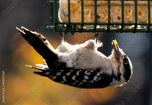 Murais de parede Downy Woodpecker Eats From A Suet Feeder