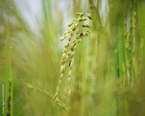 Obraz na plátně Close-up Of Crops On Field