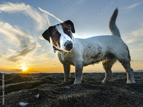 Fotografie, Obraz Closeup of the Jack Russell Terrier on the beach.