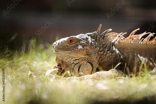 Fotografie, Obraz Close-up Of An Iguan On Field