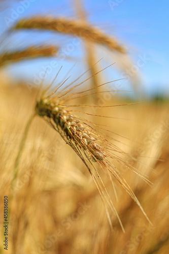 Fototapeta Close-up Of Stalks In Wheat Field