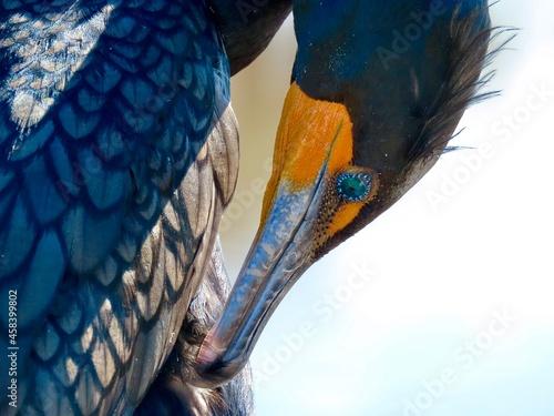 Murais de parede Closeup Of A Cormorant
