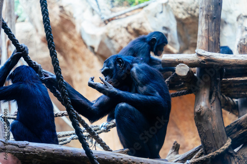 Canvas Print Black furry chimpanzees on the wood in the zoo
