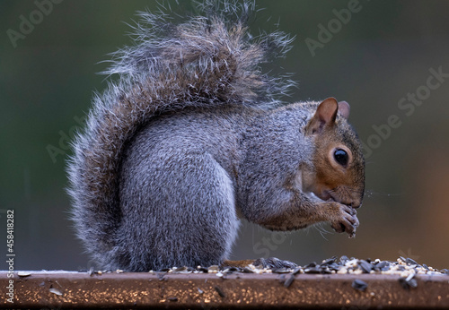 Photo Squirrel Eats On The Garden Fence