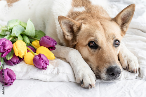 Foto Spring Tulips And Dog On The Bed