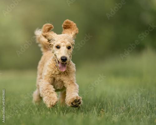 Fototapeta Portrait Of Dog Running On Grass
