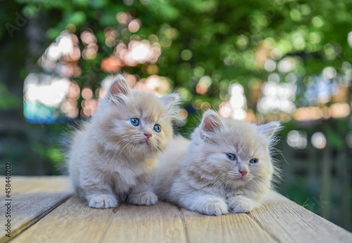 Obraz na plátně Two Munchkin Cat Relaxing On The Wood Floor, Countryside Of Thailand