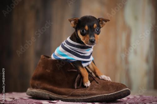 Fototapeta Portrait Of Dog In A Shoe